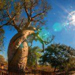 Morondava et ses baobabs